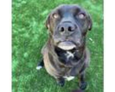 Adopt Lulu a Black Labrador Retriever, Mixed Breed