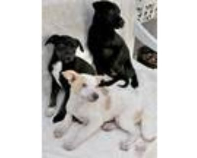 Adopt Tawny 6 Litter a Beagle, German Shorthaired Pointer