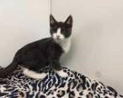 Adopt Vincent a Gray or Blue Domestic Shorthair / Mixed cat in Boulder