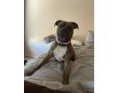 Adopt Hank a Brindle American Pit Bull Terrier / Great Dane / Mixed dog in