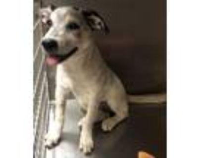 Adopt SATIN a Australian Cattle Dog / Blue Heeler