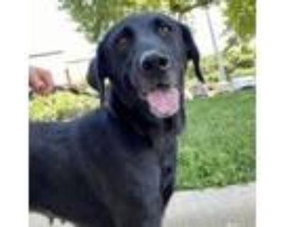 Adopt London a Black Labrador Retriever / Mixed dog in Merriam, KS (31601680)