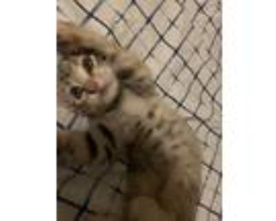 Adopt Luna a Tiger Striped American Wirehair / Mixed (short coat) cat in North