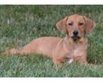 Adopt Scrabble Girl - Game litter of 8 a Hound (Unknown Type) / Labrador