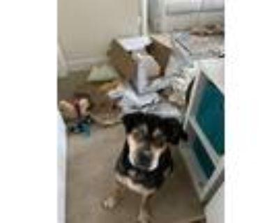 Adopt Henry a Rottweiler