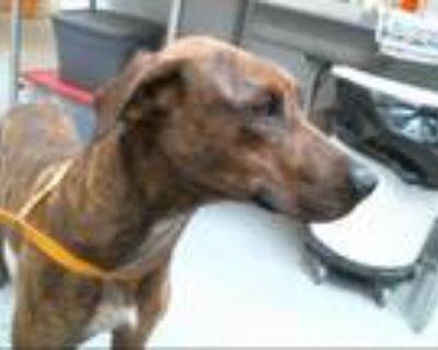 Adopt BISCOTTI a Brindle - with White Plott Hound / Mixed dog in Albuquerque
