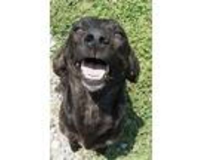 Nadia, Bailey, Lacey Coming Soon, Labrador Retriever For Adoption In Pottstown