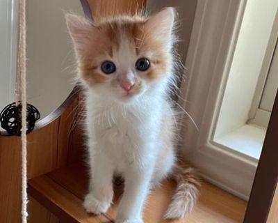 Butterscotch - Domestic Shorthair - Kitten Male