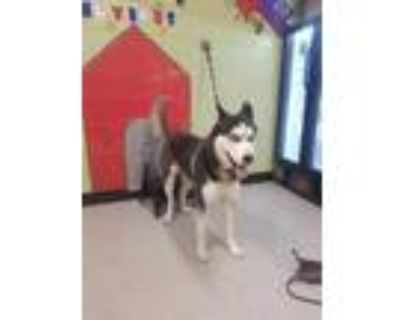 Adopt CRAYFISH a White - with Black Husky / Mixed dog in Indianapolis