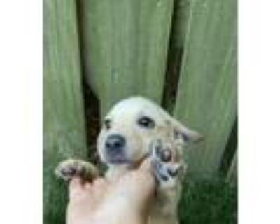 Adopt Flo! Sweet and playful puppy! a Labrador Retriever
