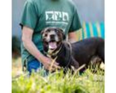 Adopt Fontine a Black - with White American Pit Bull Terrier / Mixed dog in