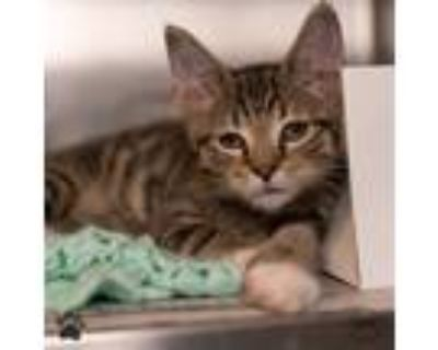 Adopt Rocky (with Double Stuff) a Domestic Shorthair / Mixed cat in Richmond