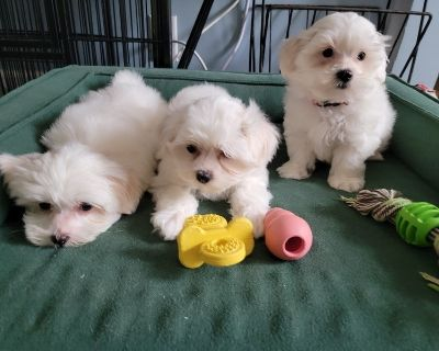 Malshih & AKC Shih Tzu Puppies
