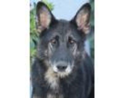 Adopt Zoey von Zschepplin a Black - with Tan, Yellow or Fawn German Shepherd Dog