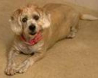 Adopt Flopsy Mopsy (East Campus ON HOLD) a Tan/Yellow/Fawn Cocker Spaniel /