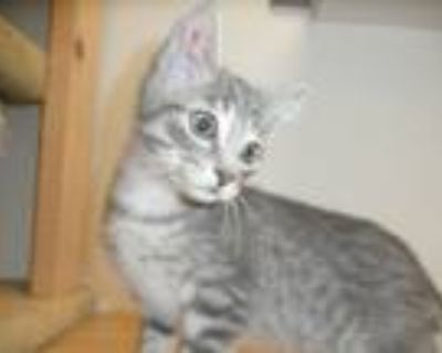 Adopt Xyler21 a Gray, Blue or Silver Tabby Domestic Shorthair (short coat) cat