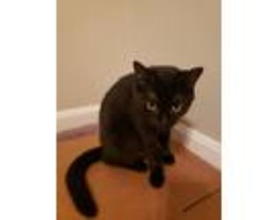 """Adopt Black Beauty """"BB"""" a All Black Domestic Shorthair / Mixed (short coat) cat"""
