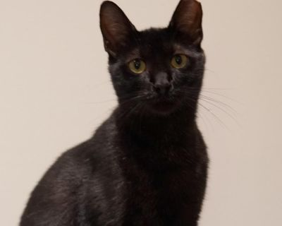 Dragon - Domestic Shorthair - Young Adult Male