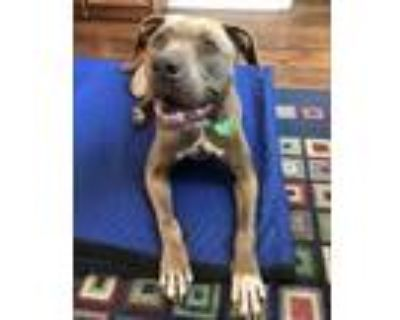 Adopt Billie J (East Campus HW+)) a Tan/Yellow/Fawn American Pit Bull Terrier /