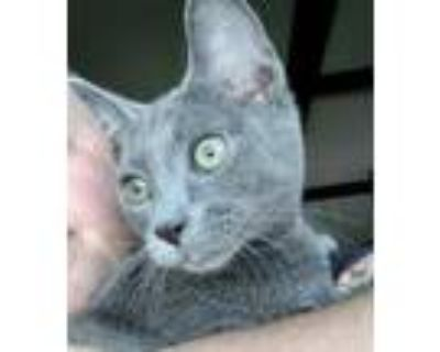 Adopt Killian a Gray or Blue Russian Blue / Domestic Shorthair / Mixed cat in