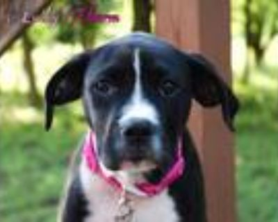 Adopt Lucky Charm a Black - with White Pit Bull Terrier / Mixed dog in Broken