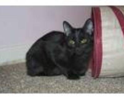 Adopt Shiitake a All Black Domestic Shorthair / Domestic Shorthair / Mixed cat