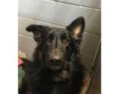 Adopt 46510824 a Black German Shepherd Dog / Mixed dog in Los Lunas