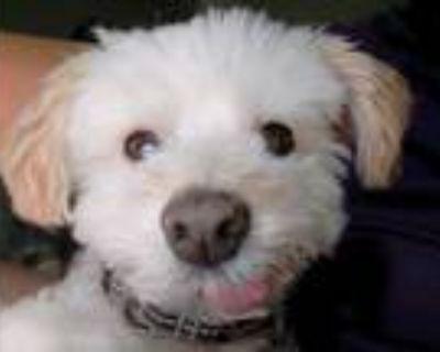 Adopt Poncho a White Poodle (Miniature) / Mixed dog in Scottsdale, AZ (30485936)