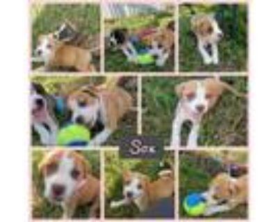 Adopt Sox a Tan/Yellow/Fawn - with White Boxer / Labrador Retriever / Mixed dog