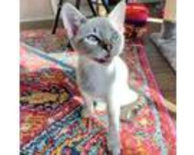 Adopt Starsky a Brown or Chocolate Domestic Shorthair / Mixed cat in Fort Worth