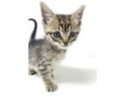 Adopt Gizmo a Gray, Blue or Silver Tabby Domestic Mediumhair / Mixed cat in