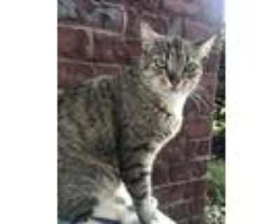 Adopt Runt a Tiger Striped American Shorthair / Mixed (short coat) cat in