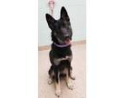 Adopt Abby a Black Husky / German Shepherd Dog / Mixed dog in Noblesville