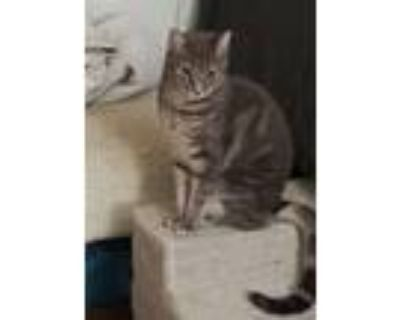 Adopt Serena and Venus a Gray or Blue American Curl (medium coat) cat in