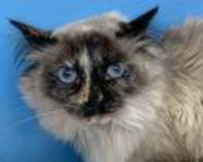 Adopt Luna a Domestic Long Hair, Siamese