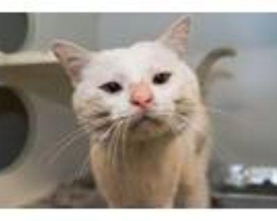 Adopt BENNI BIGFACE a Domestic Medium Hair