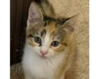 Adopt Aries a Brown or Chocolate Domestic Shorthair / Mixed cat in Newport News