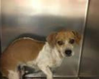 Adopt Dog a White - with Brown or Chocolate Beagle / Mixed dog in Thousand