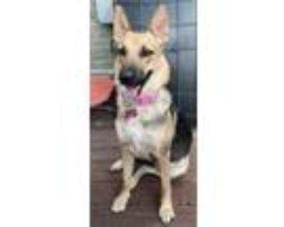 Adopt Daisey a German Shepherd Dog