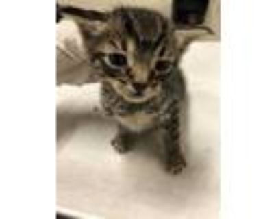 Adopt *PLUTO a Gray, Blue or Silver Tabby Domestic Shorthair / Mixed (short