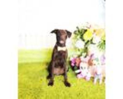 Adopt Harmetta a Black Labrador Retriever / Mixed dog in Castro Valley