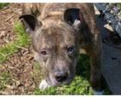 Adopt JAZZ a Brindle American Pit Bull Terrier / Mixed dog in Norfolk