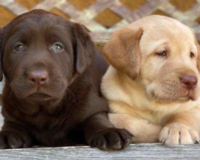 AKC Labrador Retriever Puppies Champion