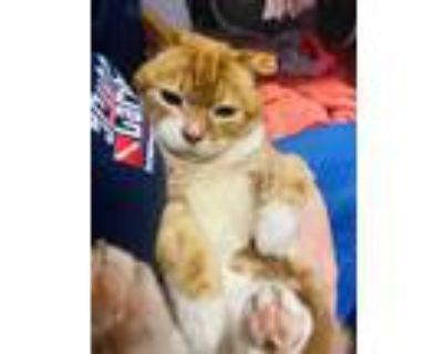 Adopt Sotheby a Orange or Red Tabby Domestic Shorthair (short coat) cat in