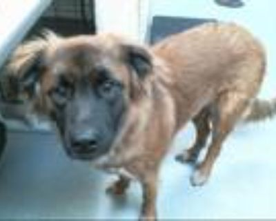 Adopt PUCK a Tricolor (Tan/Brown & Black & White) German Shepherd Dog / Mixed