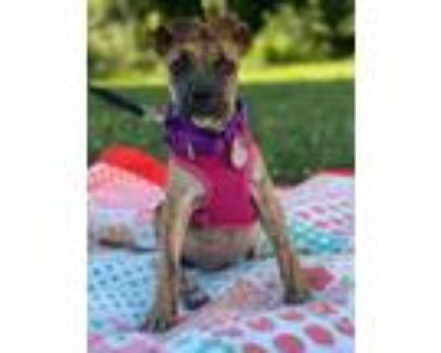 Adopt Ribbon a Brindle Boxer / Hound (Unknown Type) / Mixed dog in Chester