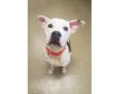 Adopt Squiggy a American Pit Bull Terrier / Mixed dog in Birdsboro