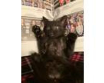 Adopt Kitten a Black (Mostly) Domestic Longhair / Mixed (long coat) cat in