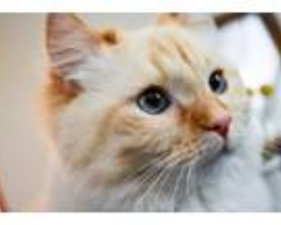 Adopt Mila a White (Mostly) Persian / Mixed (long coat) cat in Mesa