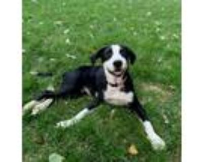 Adopt Rosie a Black - with White Labrador Retriever / Mixed dog in Westminster